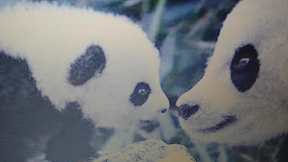 Panda Commentary