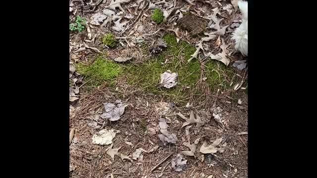 NonVascular Plant - Moss