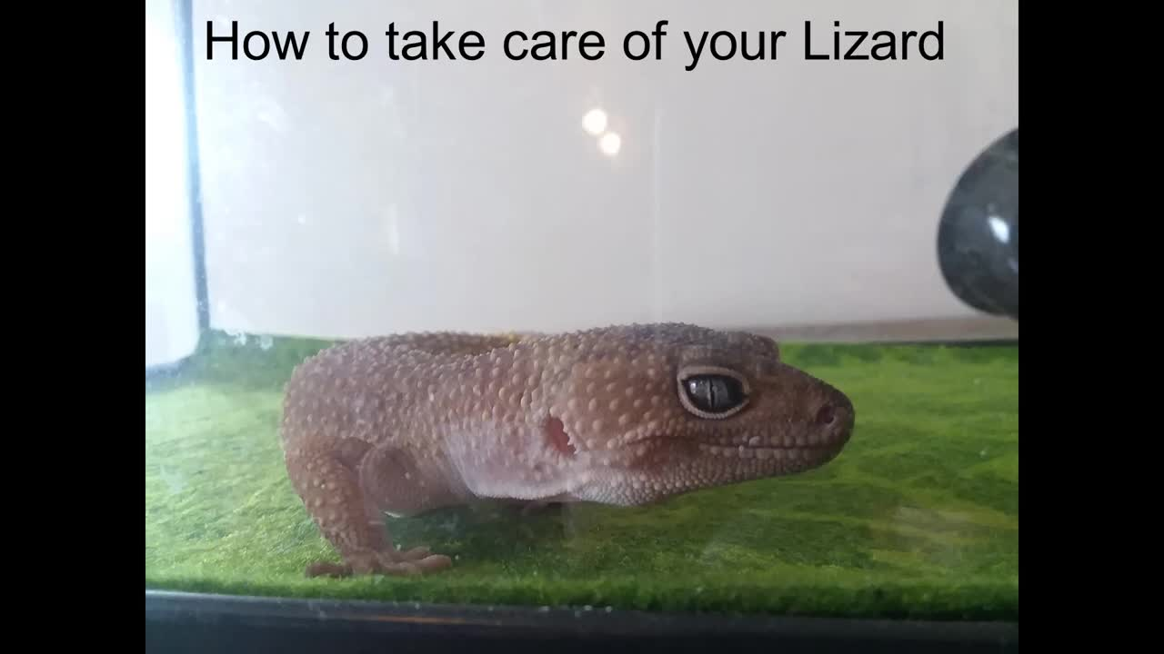 How To Take Care Of Lizard