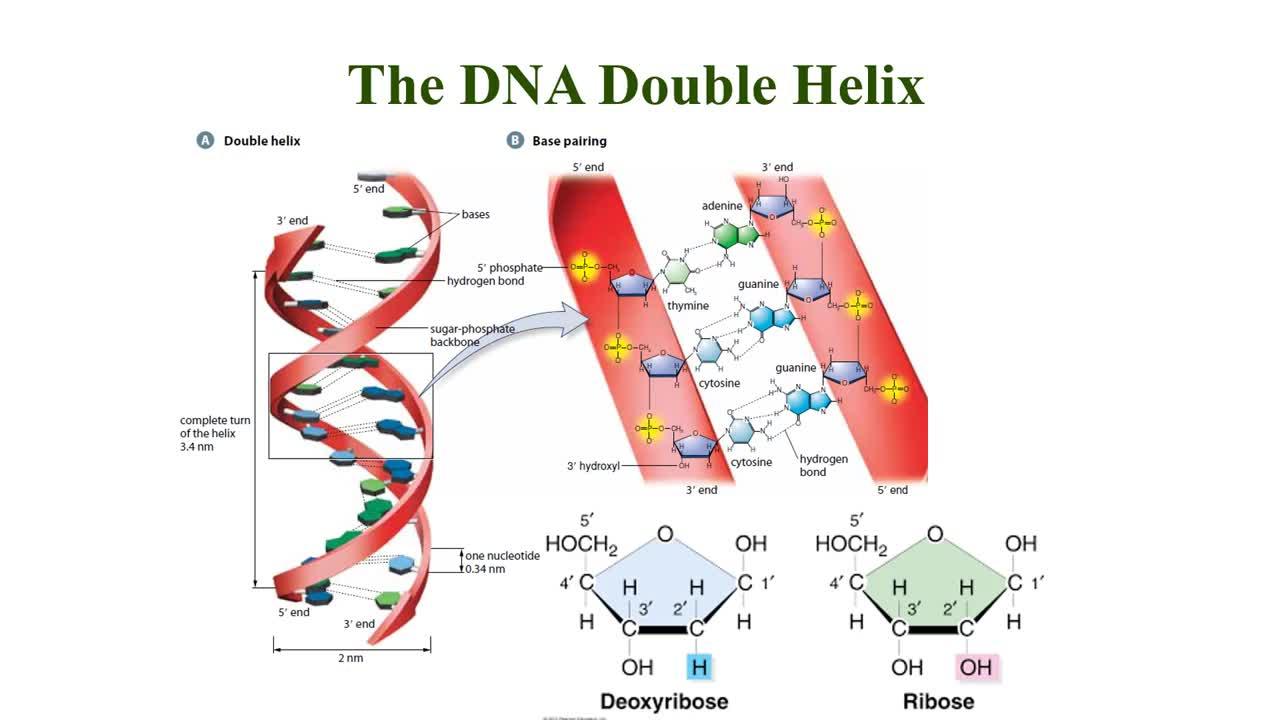 DNA Replication Lesson