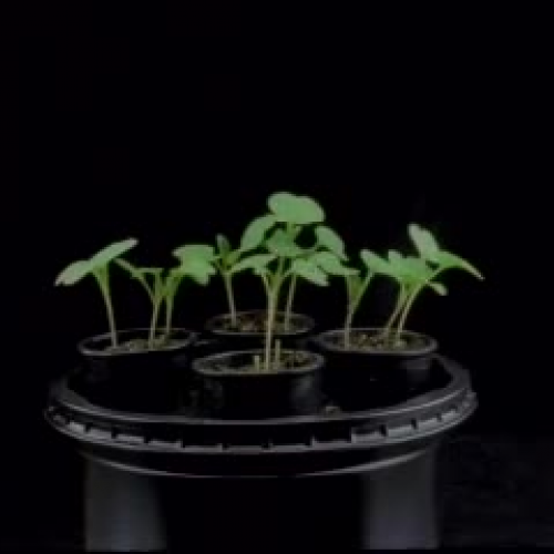 Wisconsin Fast Plants Life Cycle Time Lapse