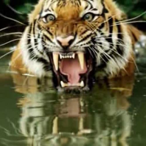 Bengal  Tiger Story