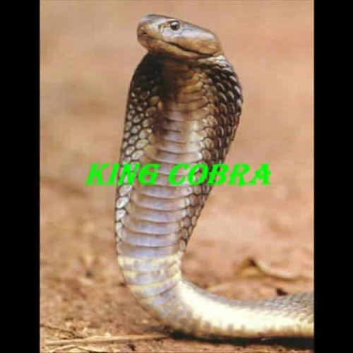 The King Cobra Story