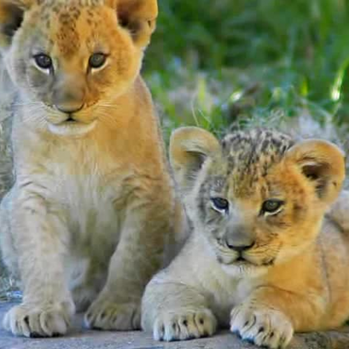 The amazing Lions of Africa
