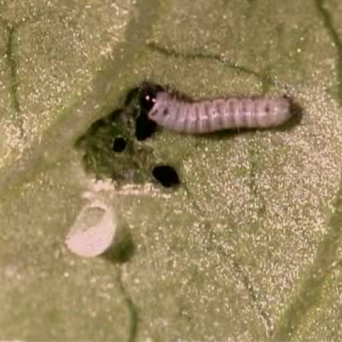 Monarch caterpillar from egg to chrysalis