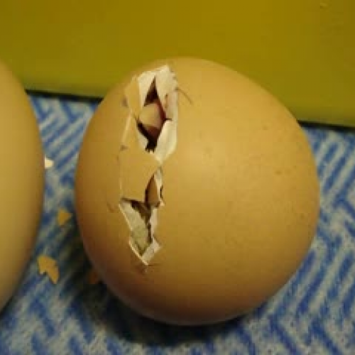 Chicks Hatching 1