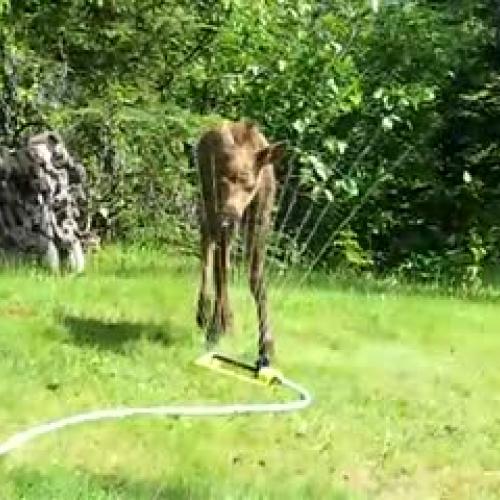 Moose in sprinkler
