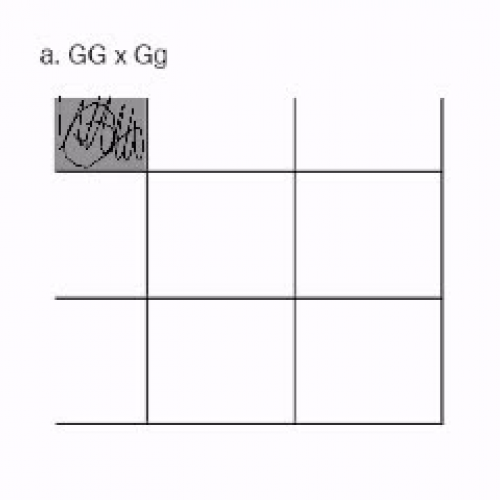 Completing a Punnett Square