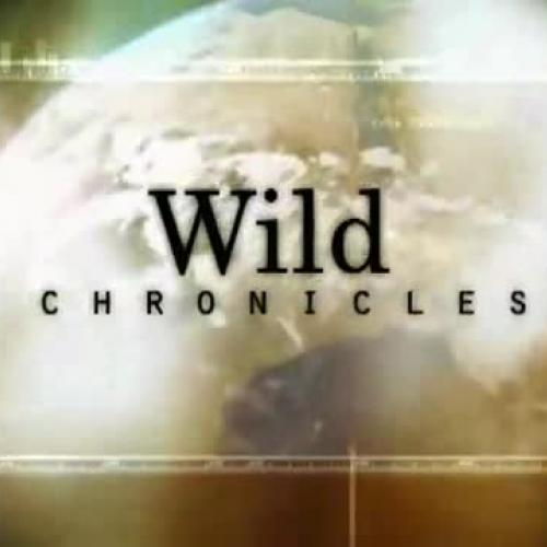 National Geographic Wild Chronicles  Gorilla