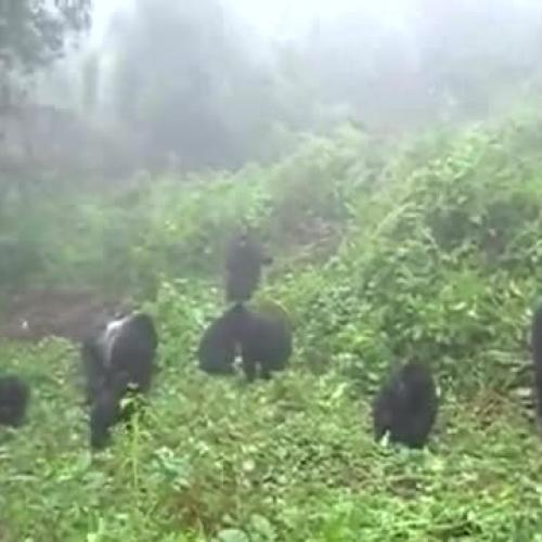Rwanda Gorilla Silverback Beats Chest