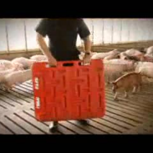 Artificial insemination of pigs