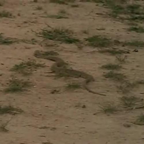 Mongoose vs. Cobra