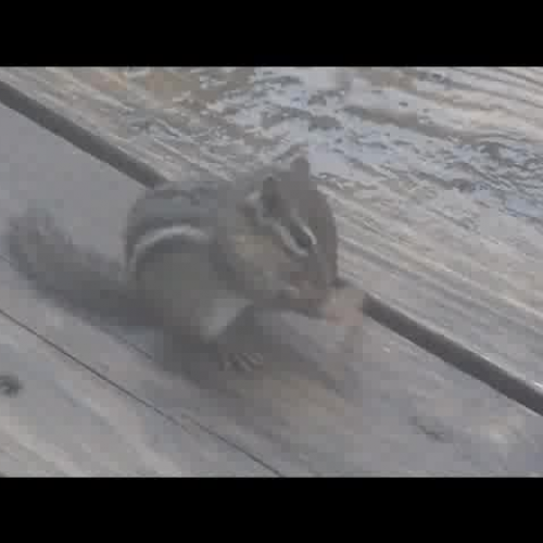 Chipmunk finds Seed