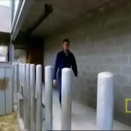 The Super Cow- Selective Breeding