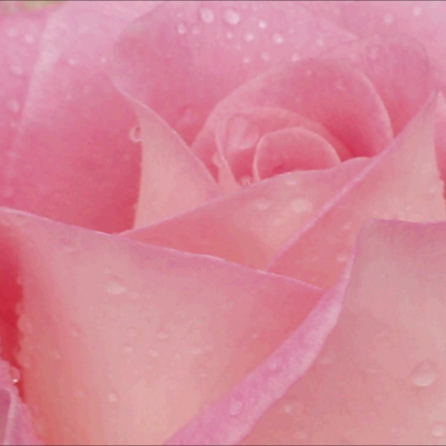 German Rose Song