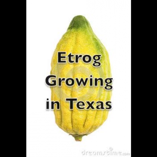 Etrog Growing in Texas