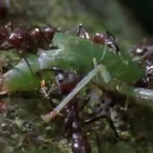 Cordyceps: attack of the killer fungi