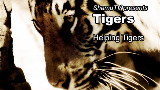 ShamuTV: Tigers - Helping Tigers