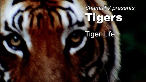 ShamuTV: Tigers - Tiger Life