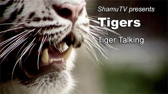 ShamuTV; Tigers - Tigers Talking