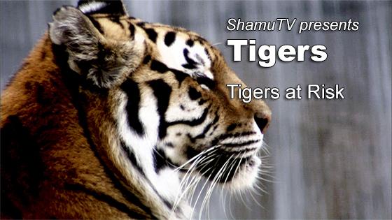 ShamuTV: Tigers - Tigers at Risk