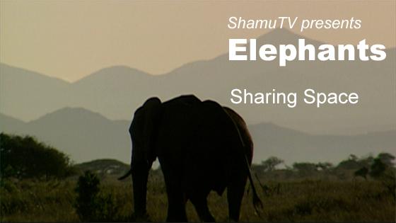 ShamuTV: Elephants - Sharing Space