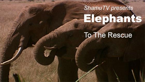 ShamuTV: Elephants - To The Rescue